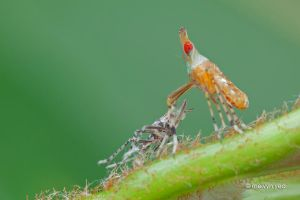 Planthopper nymph with exoskeleton by melvynyeo