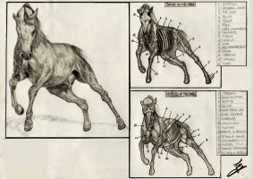 Horse Anatomy by lvito00