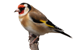 Precut Goldfinch by VIRGOLINEDANCER1