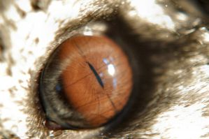 Chinchilla Eye by Fohat