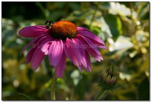 Blossom and the Bumble Bee III by LoneWolfPhotography