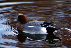 wigeon by catfinches