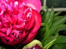 peony by firefreezeall