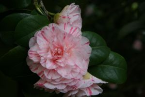 view to camellias 54 by ingeline-art