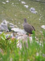 Francolin and Sunbird regard the berg by jellybush