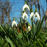 Amongst the Snowdrops by EarthHart
