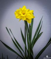 Yellow Daffodil Against White by mjohanson