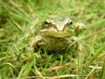 common frog uk by tazzy-tri