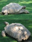 Tortoise by MapleRose-stock