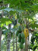 Breadfruit by RixResources