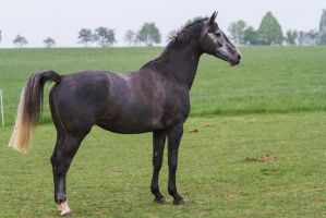 Grey Dutch WB on Pasture by LuDa-Stock