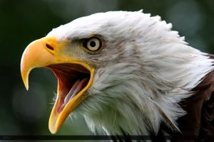 Bald Eagle 4 by Canisography