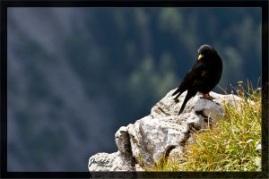 Alpine chough 1 by deaconfrost78