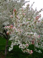 Crab Apple Blossoms #1 by EnthusiasmShared