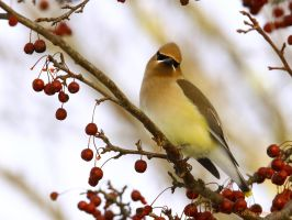 Cedar Waxwing II by natureguy