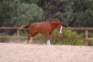 ASH pulling from front canter by Chunga-Stock