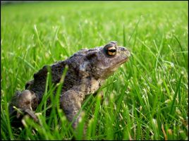 Frog in my garden 2 by Grimmjow89