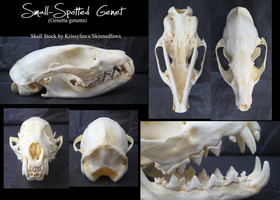 Skull Stock:SmallSpotted Genet by Krissyfawx