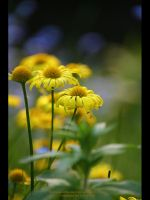 Yellow Daisy by GMCPhotographics