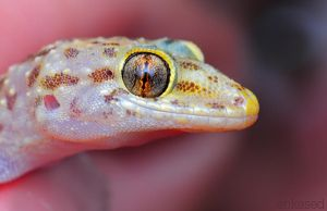 Albino Gecko by Blaklisted