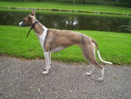 whippet by LeslyO