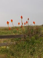 Red Hot Poker 02 by botanystock
