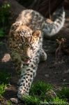 Young Amur Leopard by amrodel