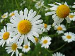 Daisy flower by VasiDgallery