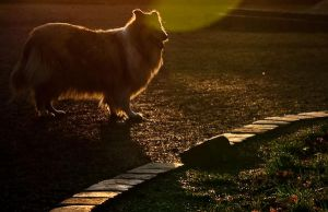 Collie in the backlight by Struggl3