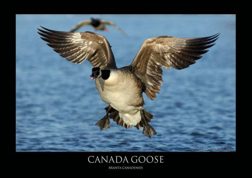 Canada Goose.3 by THEDOC4