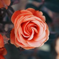 0483 - Rose by Somebody--else