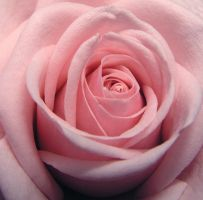 Rose 3 by atreja-stock