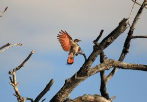 Northern Flicker in Flight by sgt-slaughter