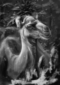 Camel and snow by AlaxendrA
