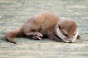 baby otter by photographybypixie