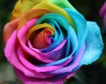 Rainbow Rose 4 by angela808