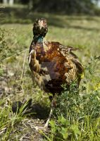 Grouse 2 by tpphotography