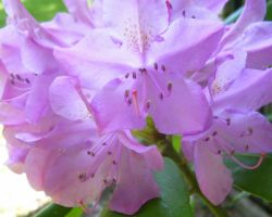 Rhododendron Close Up by Ronron84