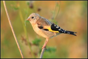 Juvenile Goldfinch I by nitsch