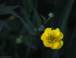 small yellow flower by Jamurka
