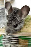 My female Chinchilla by LadyCzarna