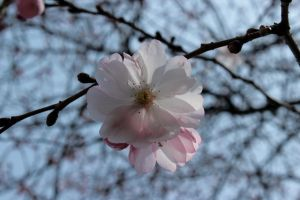 Cherry Blossoms 2 by wuestenbrand