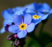 Greek Flower Myth-ForgetMeNots