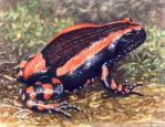 Banded Rubber Frog by WillemSvdMerwe