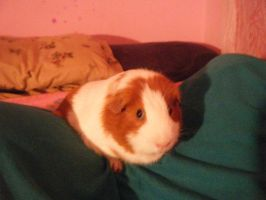 MY GUINEA PIG by LoLSoulz