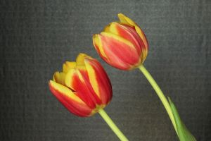 Two Tulips by digitalpix4all