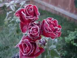 Frozen Roses by Stamps