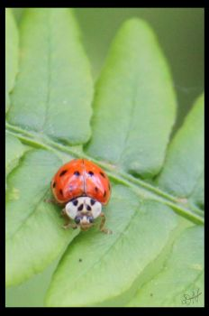 Ladybug on a Leaf by PenguinOfRohan
