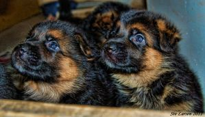 Two little puppies by sivlar84