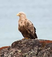 White-tailed Eagle 03 by nordfold